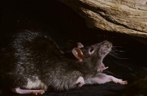 Ratten bekämpfen - Profisache!
