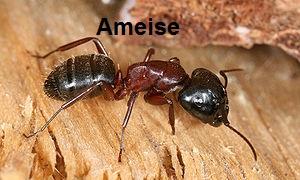 Ameisen Baunatal